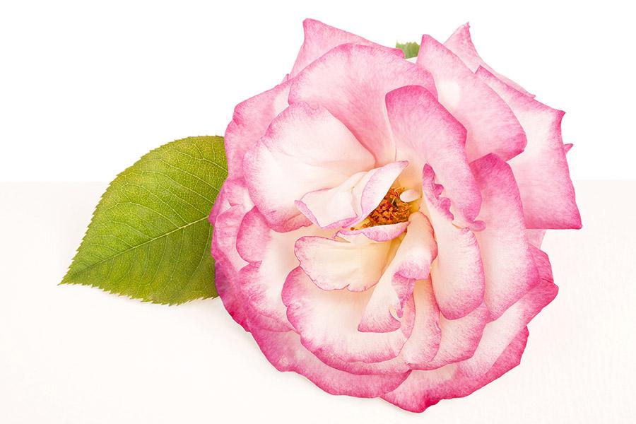 Rose Haendel