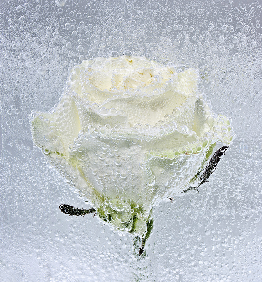 La Rose Blanche-2