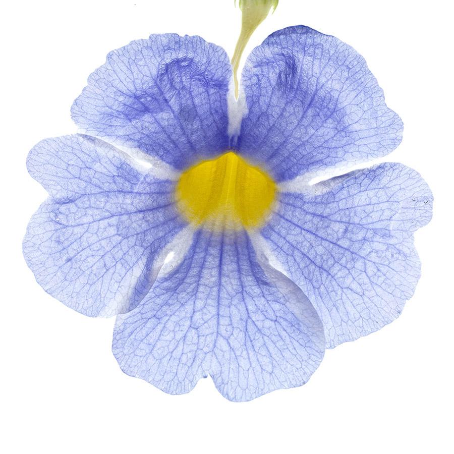 Thunbergia, Iris du Japon
